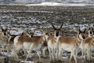 Antelope worries prompt lawsuit over Wyoming gas field plan